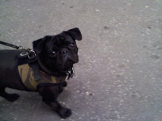 Pug in the east village