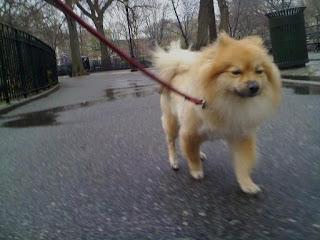 Pomeranian in rainy tompkins square