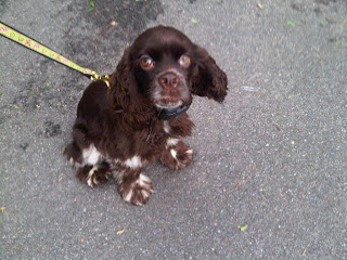 Cocker spaniel pup, Stuytown