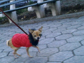 Chihuahua bundled up in the east village