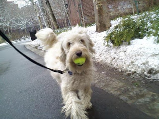 Labradoodle strutting with a tennis ball in Stuyvesant Town