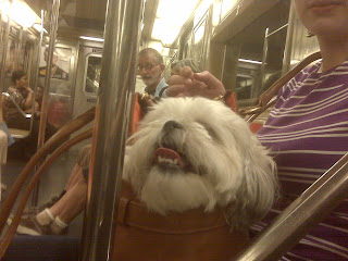 Maltese shih tzu mix on the downtown 3 train, manhattan, nyc