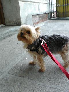 Yorkie in the West Village
