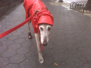 Greyhound struts in his red raincoat, battery park city, nyc