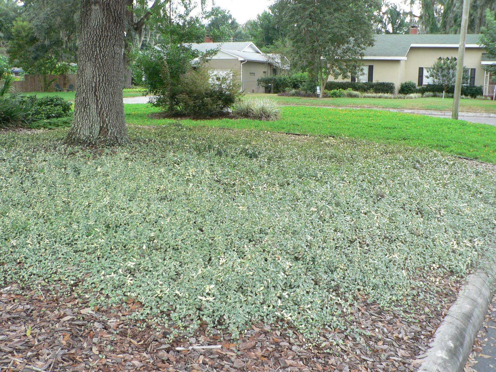 UF/IFAS Extension, Polk Gardening: Asiatic Jasmine, A ...