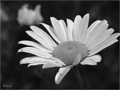 Labels: black, black and white, bw, daisy, flower, flowers, petals