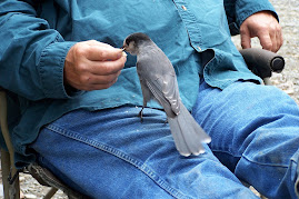 Gray Jay eating out of Jack's hand