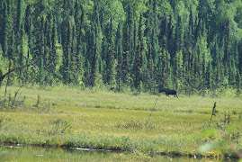 Cow moose and yearling