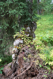 Spruce tree burls and roots