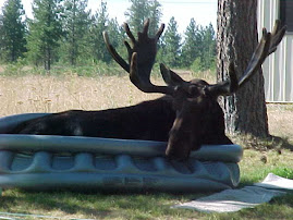 Bull moose in swimming pool