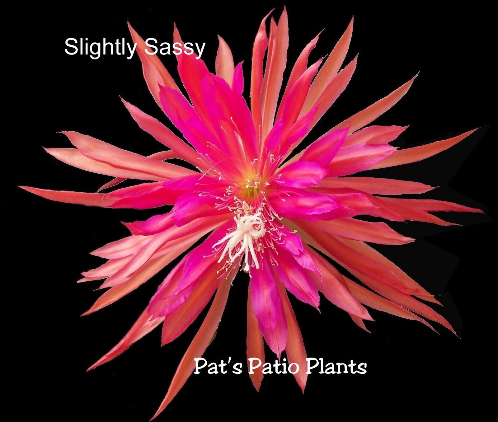 Epiphyllum 'Slightly Sassy'