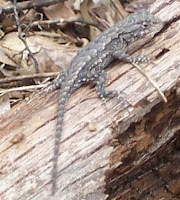 little gray lizard