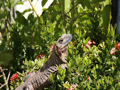 Iguanas and lizards everywhere