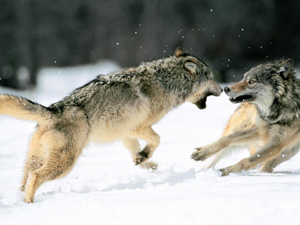 BIOSFERA: O Mistério dos Lobos