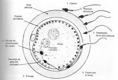 Resultado de imagen para fecundacion