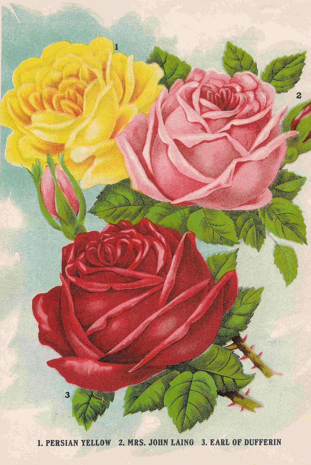 Antique Images: Free Flower Clip Art: Image of 3 Roses from Antique Seed Catalog
