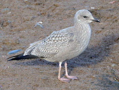 Blogbirder: Early moulting juvenile Argentatus Herring ...