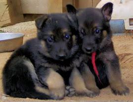 2 Cute German Shepherd Puppies