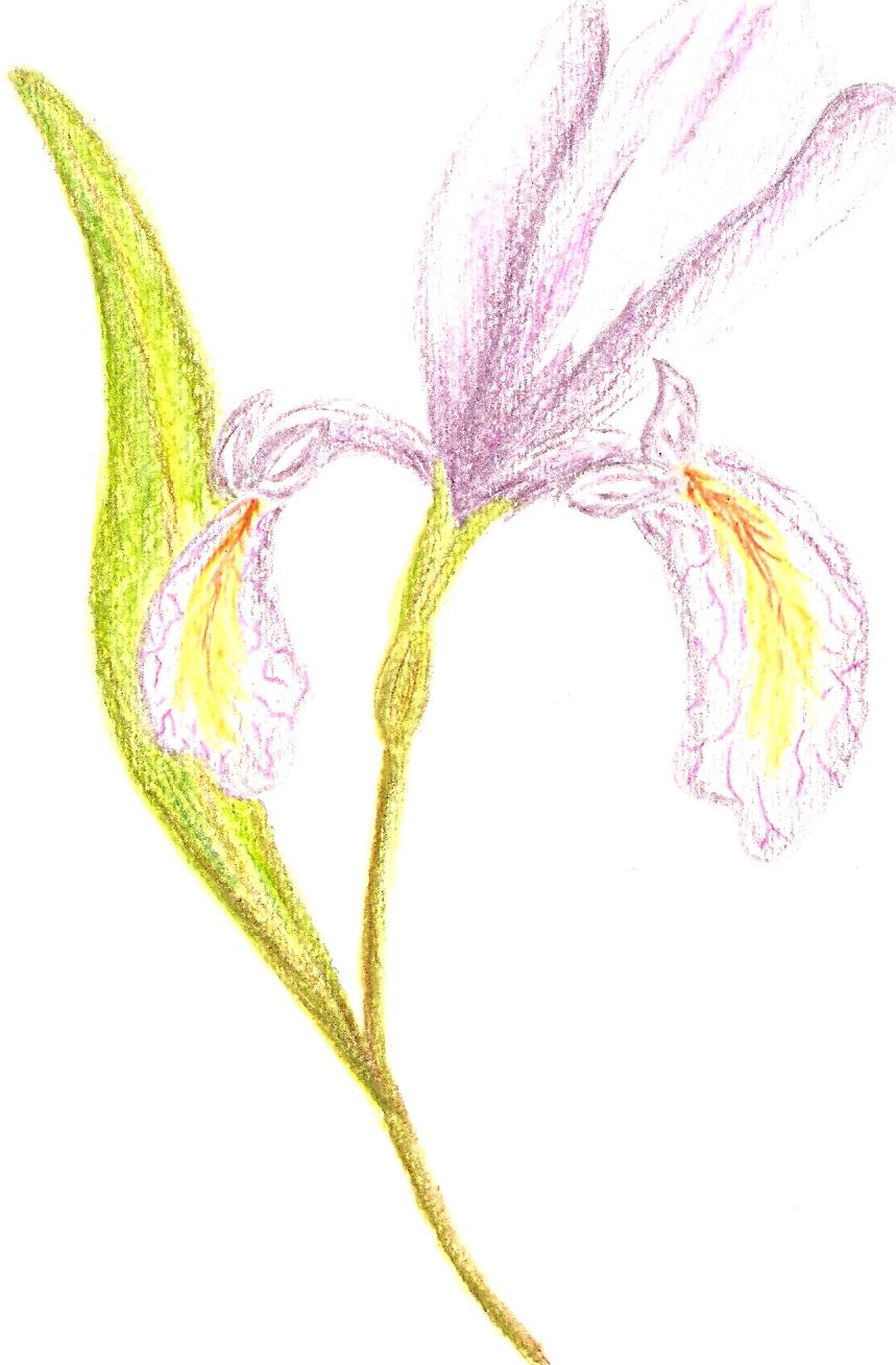 [iris+painting.jpg]