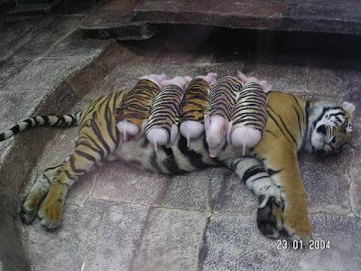 Tiger & Piglets