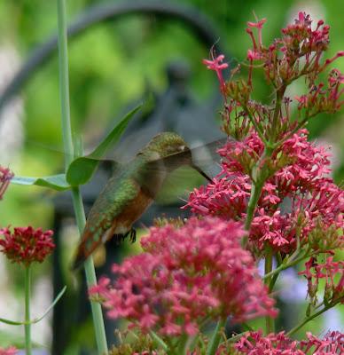 hummingbird yeehaw maria allthat