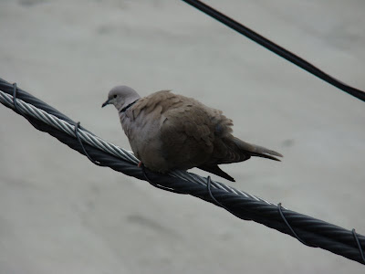 Chicago dove
