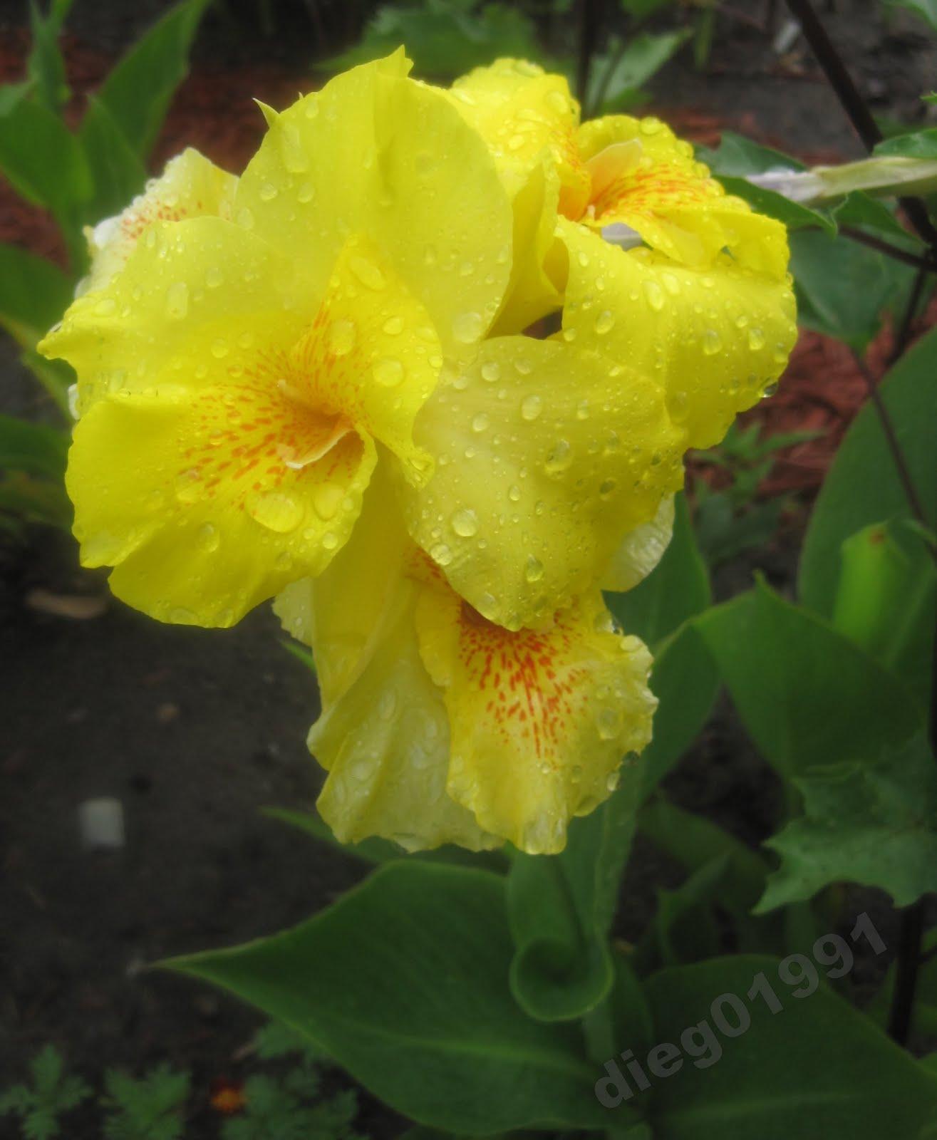 Cannas Flowers Varieties