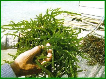 gambar rumpai laut, rumpai laut, rumput laut, sea weed, daun rumpai, alga, rumput laut yang masih segar