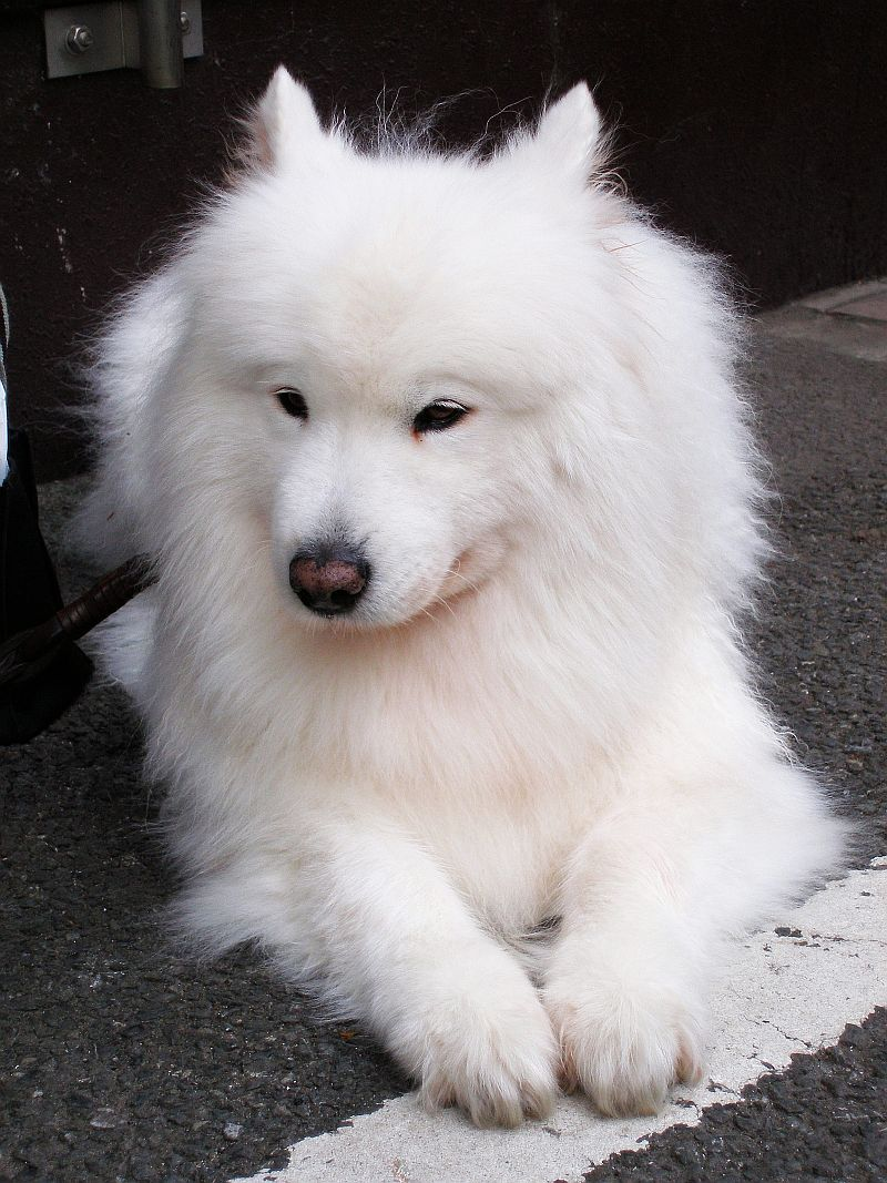 Samoyed Top Puppy Top Dog Directory