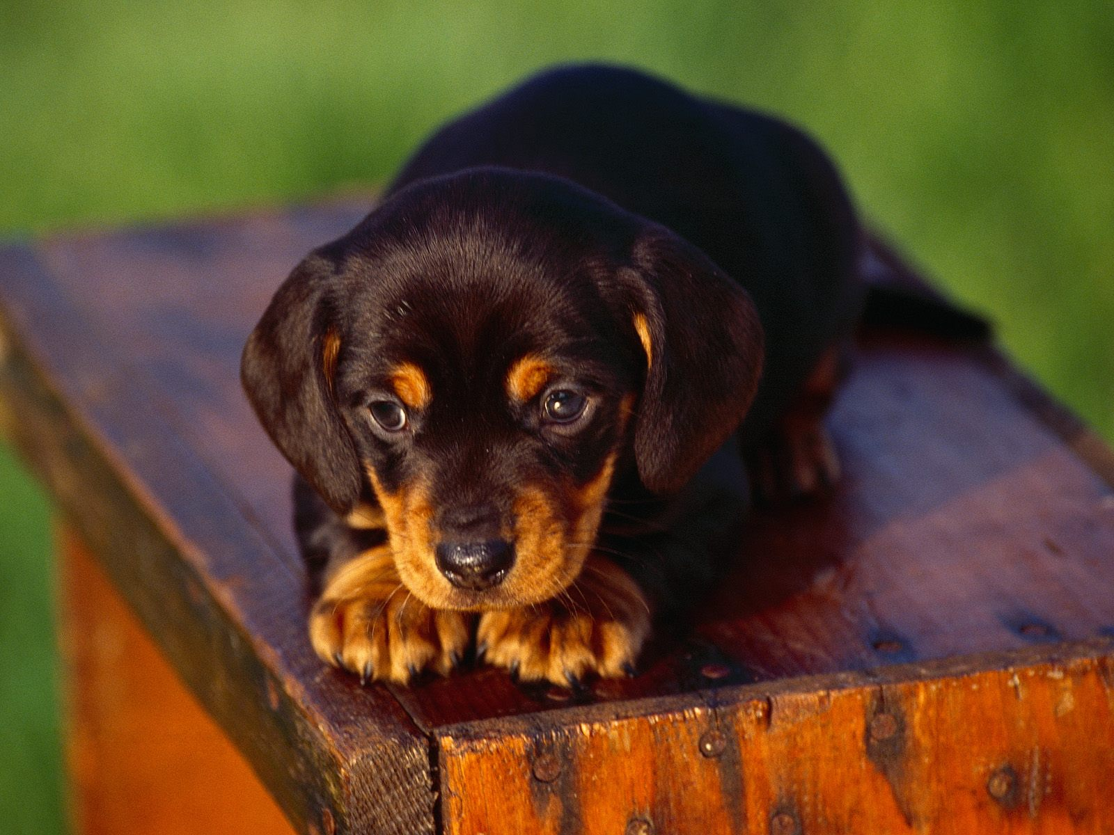 The Dog and Puppies: Black and Tan Coonhound