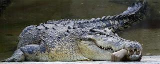cocodrilo comiendose a persona