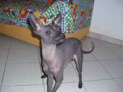 DOGS AND CATS BREED: June 2008 Dogs and Cats wallpapers ...Xoloitzcuintle Con Pelo
