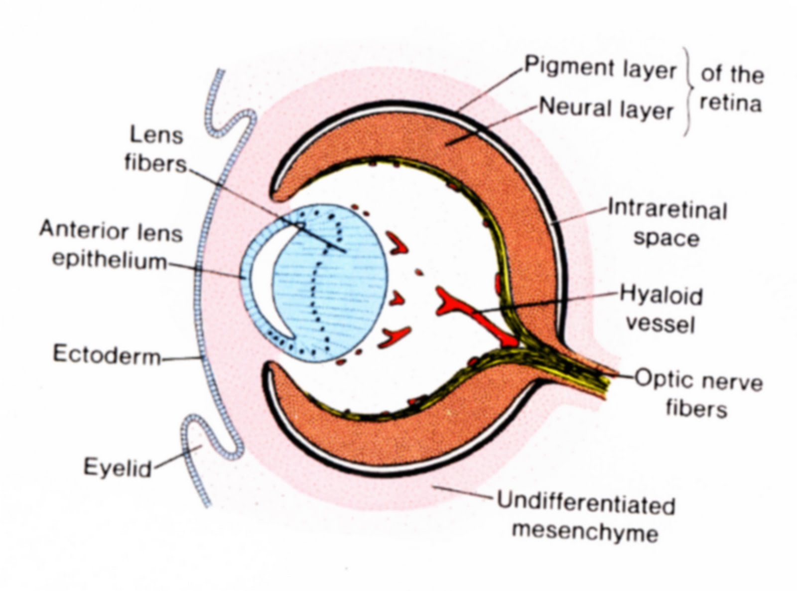small resolution of moose eye diagram label best wiring librarymoose eye diagram label 10