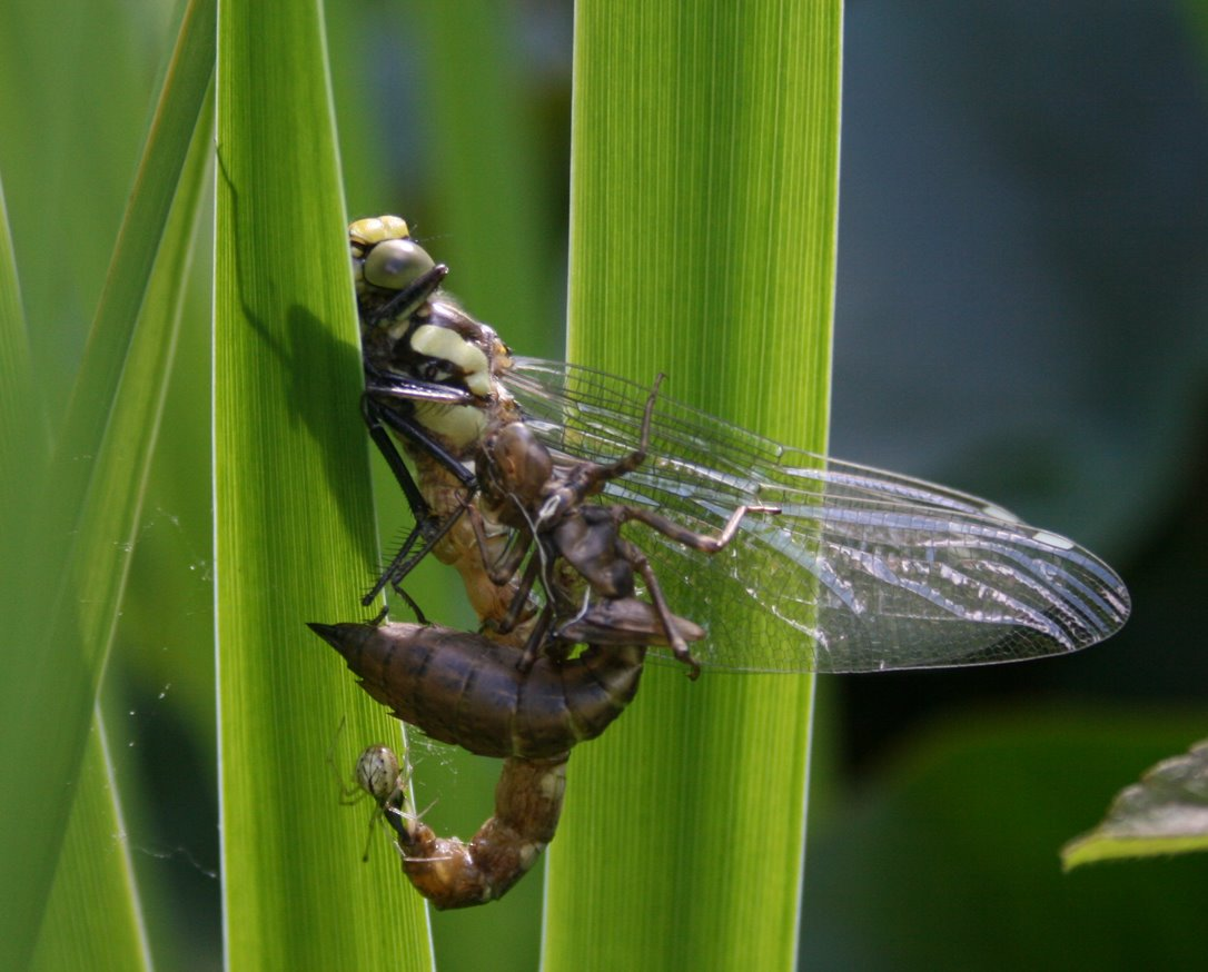Dragonfly nymph eating