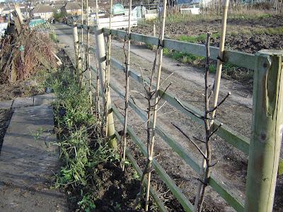 Evington Hilltop Adventures Cordon Fruit Trees