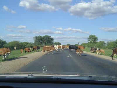 Cattle Crossing – Bubi River, Zimbabwe