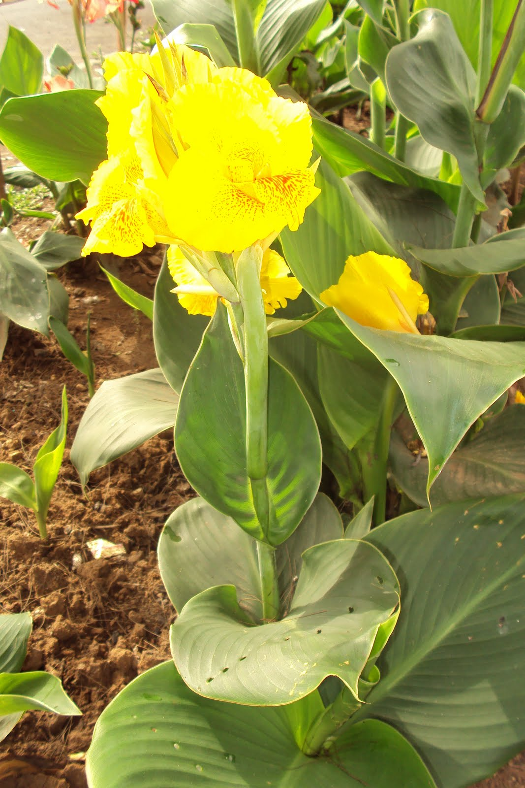 Orchids And Other Variety Of Flowers: Bandera Española