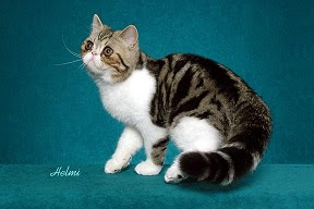 Brown classic tabby and white cat