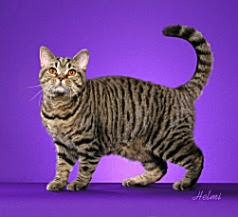 brown-mackerel-tabby-cat