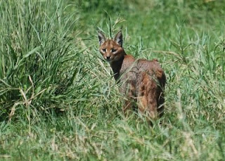 Caracal cat - a wildcat