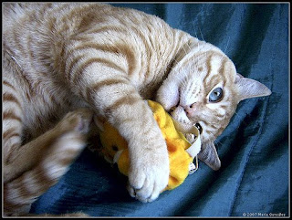 cat playing with toy or catnip