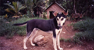 Costa Rica guard dog