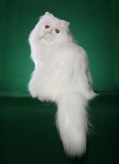 White Persian cat Bogie