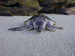 Karimunjawa Turtle (Jepara Tourism Info)