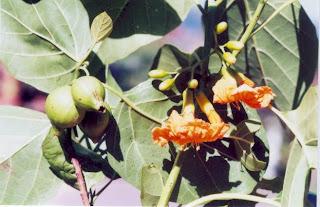 Kalimasada Tree at Karimunjawa(Jepara Tourism Info)