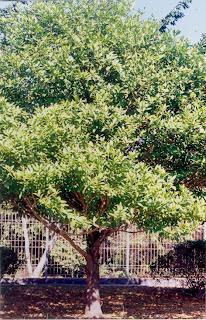 Dewadaru Tree at Karimunjawa (Jepara Tourism Info)