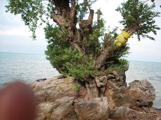 Setigi Tree at Karimunjawa (Jepara Tourism Info)