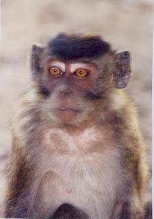 Karimunjawa Monkey (Jepara Tourism Info)