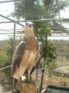 Karimunjawa Brown Hawk (Jepara Tourism Info)
