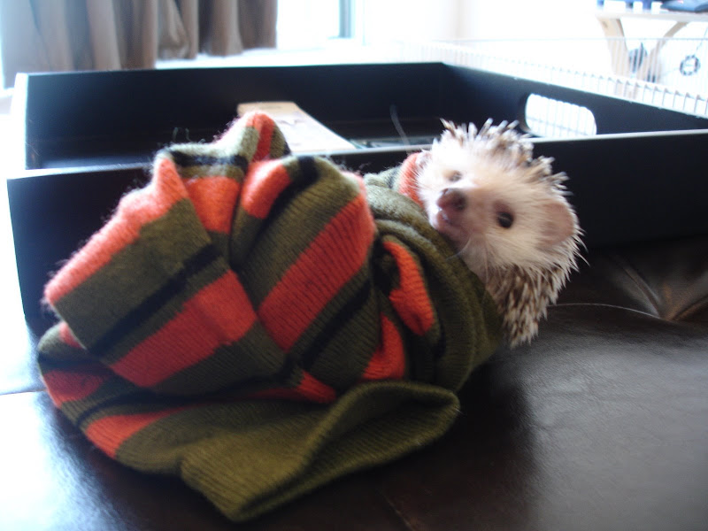 hedgehog cute